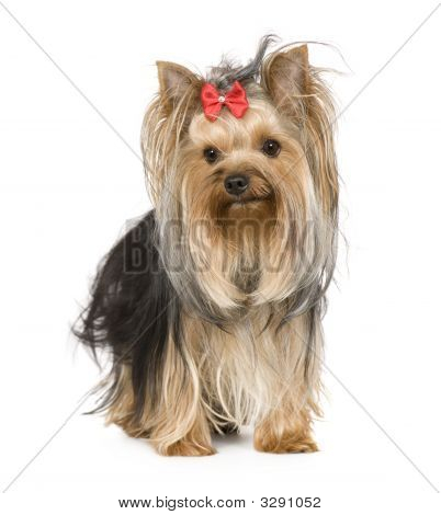 Yorkshire Terrier (15 Monate)