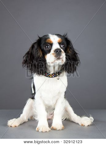 Cavalier King Charles Spaniel Sitting And Looking Up