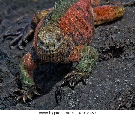 Closeup Of Colorful Marine Iguana On Lava Rock