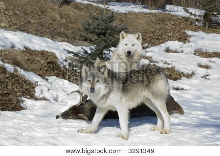 Gray Wolves In Northern Minneaota