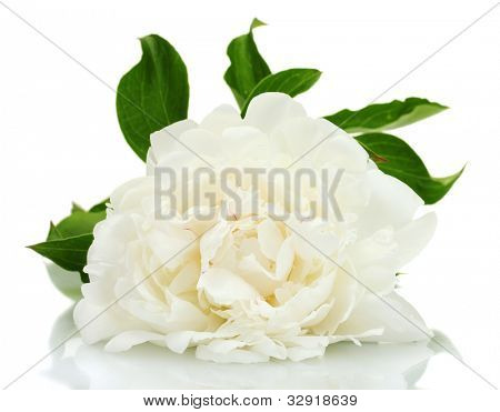 beautiful peony isolated on white