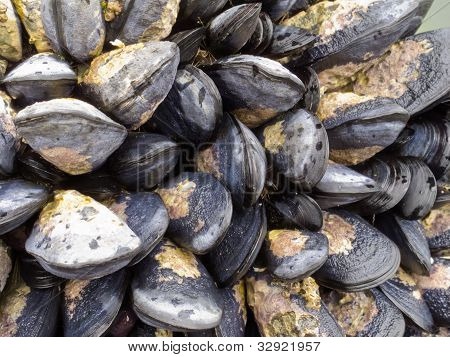 Exposed mussels on a rock at low tide
