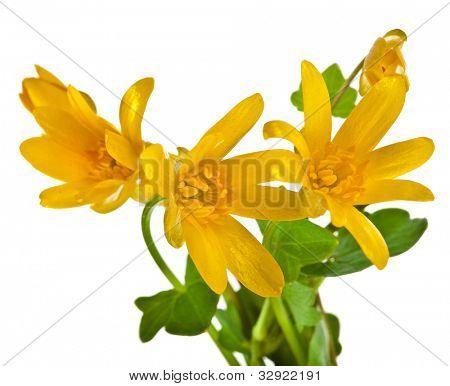 Blossom of Lesser celandine , Ficaria verna flower, isolated on white