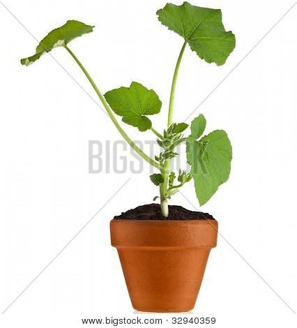 Young fresh vegetable sprout seedling  in brown pot  isolated on white background