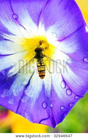 Convolvulus triculurus with a bee close up