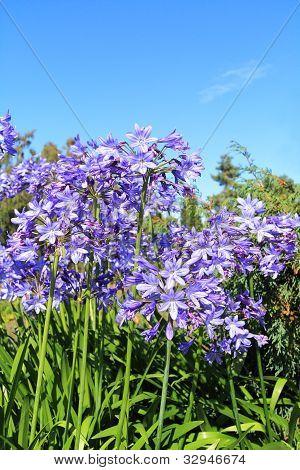 Beautiful Blue Alium blossom against blue sky