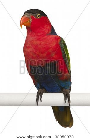 Portrait of Black-capped Lory, Lorius lory, also known as Western Black-capped Lory or the Tricolored Lory, a parrot, perching in front of white background