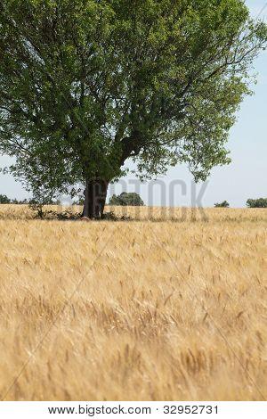 Imagen de verano de un árbol en el horizonte de un campo de trigo de oro en Provence, Francia