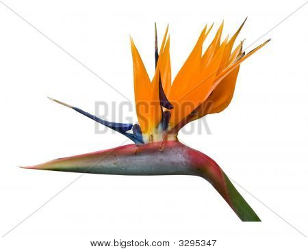 Bird Of Paradise Isolated With Clipping Path
