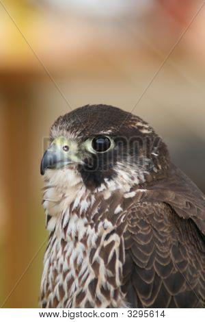 A Hobby(Falco Subbuteo)