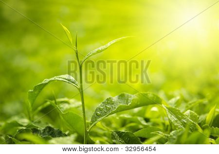 Tea Leaf with morning golden sunlight