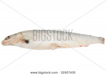 Fresh Raw Fish Arctic Cisco