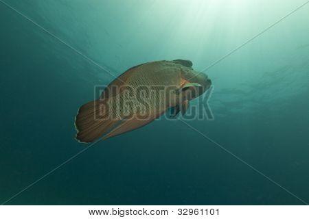 Napoleon wrasse (cheilinus undulatus) in the Red Sea.
