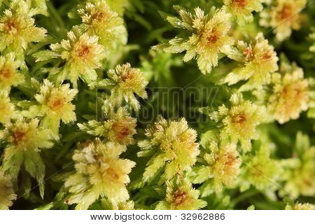 Plant Background Of Sphagnum Moss
