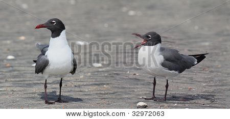 Laughing Gull Duo