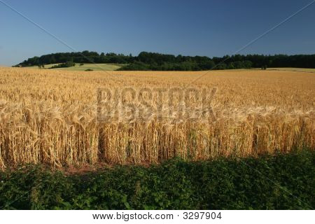 Idyllic Barley Field In Germany