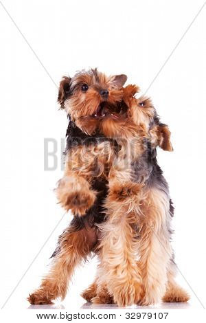 two yorkshire terrier puppy dogs playing and biting each other on white background