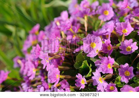 Pink Primula Auricula (Primrose) Flowers