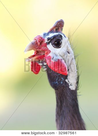 Guinea Fowl Closeup With Natural Background