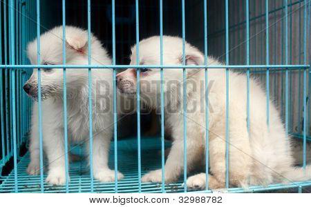 Cute Pomeranian Pups Inside A Cage On Sale Display