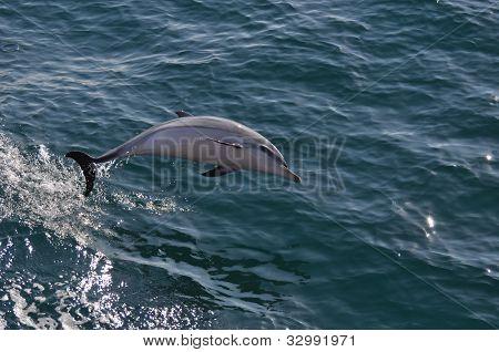 Juvenile Striped Dolphin
