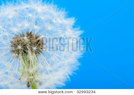 Dandelion On A Blue Background