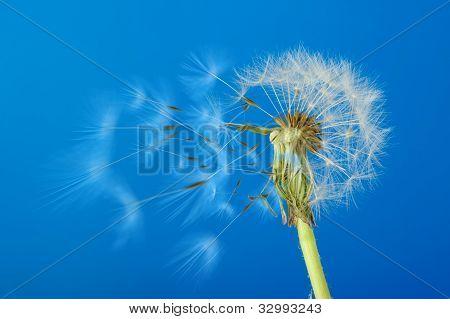 Löwenzahn mit beweglichen Samen auf blauem Hintergrund