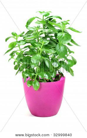 Home Plant In Flower Pot On White Background