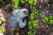 Galapagos Marine Iguana eating marine algae growing on rocky shores and underwater. Marine iguana is poster