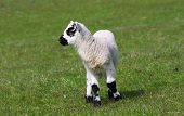 stock photo of the lost sheep  - Lambs, black and white green field