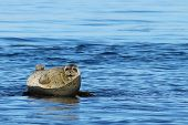 Seal (spotted Seal, Largha Seal, Phoca Largha) Laying On Rocky Island In The Sea On Blue Water Backg poster