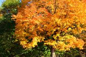 Gorgeous Autumn Color Seen In Tree Branches That Are A Vibrant Yellow And Orange Theme, Not Yet Read poster