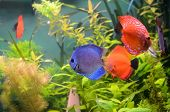 picture of diskus  - Blue and orange discus fish in the aquarium