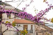 image of judas tree  - branch of Judas Tree covered with flowers - JPG
