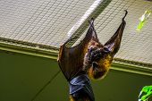 Rodrigues Flying Fox Hanging On The Ceiling In Closeup, Tropical Mega Bat, Endangered Animal Specie  poster