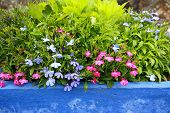 stock photo of lobelia  - Lobelia erinus in a blue pot - JPG