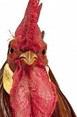 stock photo of leghorn  - Portrait of Rooster Leghorn - JPG