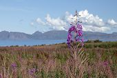 Fireweed At Grunnfor On Austvagoy In Northern Lofoten With An Northwards View Towards Vesteralen poster