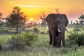 African Elephant (loxodonta Africana)  Walking In Bushveld In Early Morning Sun In Kruger National P poster