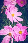 Macro Of Pink Flowers Nature Background. Nature Background Of Pink Flowers. Green Nature Macro Backg poster