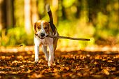 Happy Beagle Dog Fetching A Stick In Autumn Forest. Portrait With Shallow Background poster