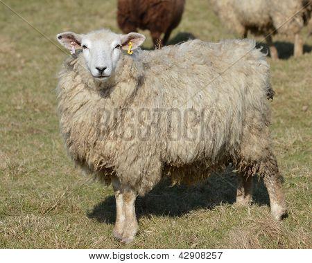 A Youmg Romney Ewe