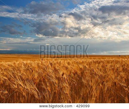 Campo de trigo y Prairie Sky