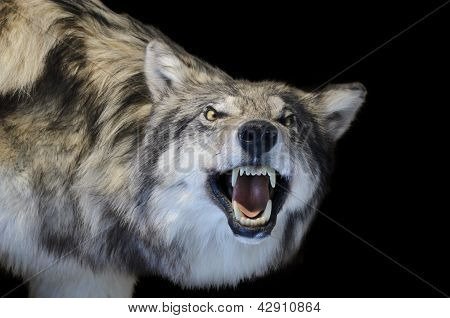 grauen wolf