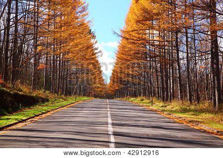 Autumn Japanese Larch