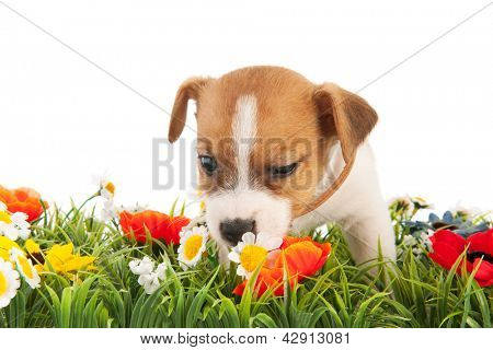 Jack Russel puppy dog sniffing at flowers isolated over white background
