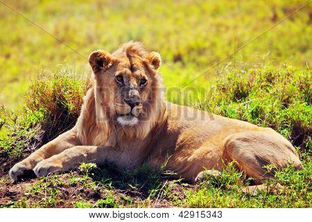 Young adult male lion lying on savanna in grass. Safari in Serengeti, Tanzania, Africa