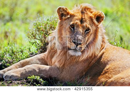 Young adult male lion lying on savanna in grass. Safari in Serengeti, Tanzania, Africa