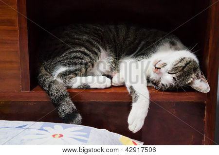 Siamese Cat Sleeping