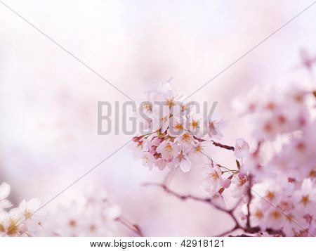 Early spring cherry blossoms in soft  spring light.